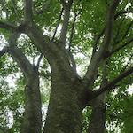インダストリーの木